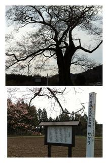 北館桜.JPG