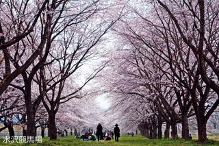 桜回廊.jpg