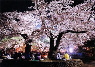 水沢公園-桜.jpg