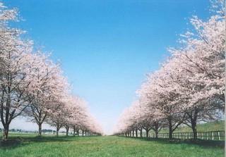 競馬場桜並木2004.jpg
