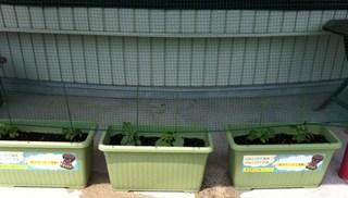 緑のカーテン20150529-4.JPG