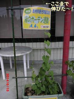asagao20140618.jpg